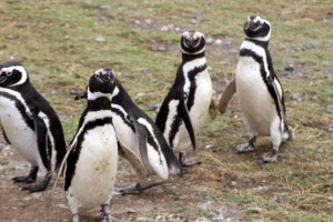 The Magellanic Penguin on Magdalena Island