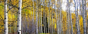 Aspens. Photo by Dillon