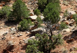 Mikey spotted this Rocky Mountain Bighorn from halfway up 100' Hands
