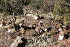 Bighorns enjoying the morning sun