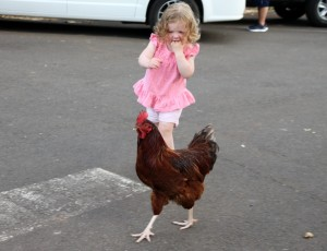 Sawyer chasing a rooster